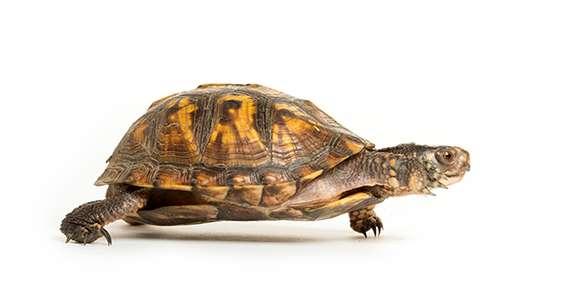 Box Turtles