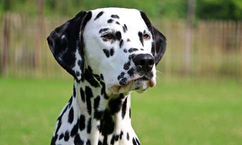 From Dalmations to Siberian Huskies: How the Big (and Little) Screen Influences Pet Fads