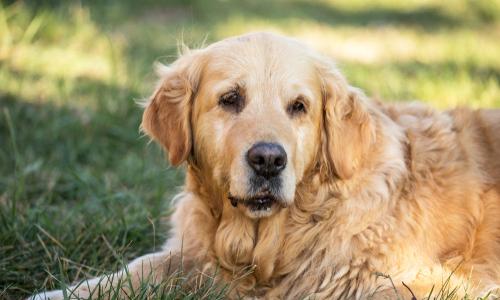 Identifying Dementia in Senior Dogs