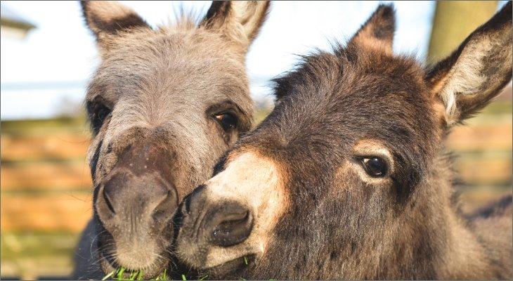 Donkeys, Horses & Mules